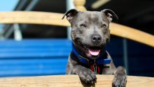 Texas the Staffie is just one dog that received help from Battersea's fantastic staff