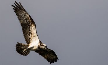 Ospreys are thriving at the Loch of the Lowes Reserve