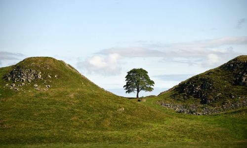 The Sycamore Gap Tree is England's European Tree of the Year entry