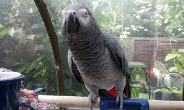 Sailor the parrot has recently been calling like an osprey