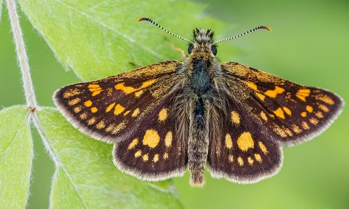 The Chequered Skipper will fly in its former English home for the first time in 40 years (Image: Adam Gor, Butterfly Conservation)