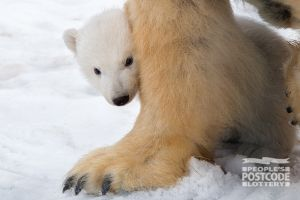 The new arrival at the RZSS Highland Wildlife Park out and about in the snow