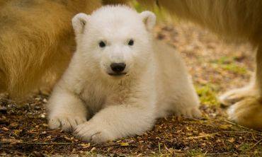 The adorable polar bear cub was born in December, the first of its kind to be born in the UK in 25 years