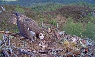 Aila and Louis' nest with some new tenants - two osprey chicks!