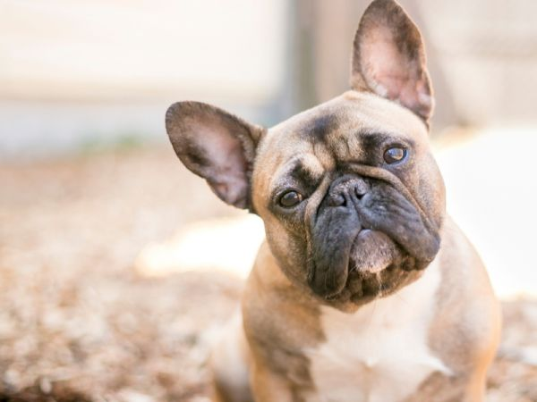 How To Help With French Bulldog Rescue