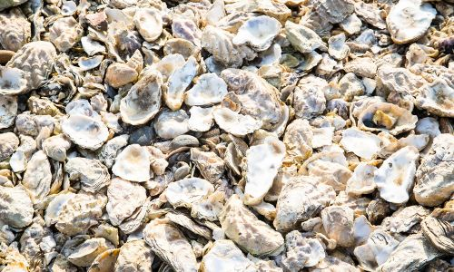 Funding from our players will help the Wild Oysters project to recover British native oyster populations