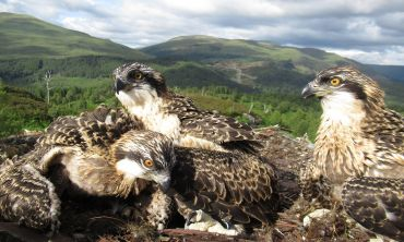 Ospreys Doddie, Vera and Captain began leaving the nest one at a time during August to migrate south for the winter
